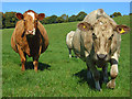 SU7798 : Cows, Chinnor by Andrew Smith