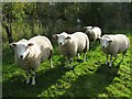 SK3858 : Sheep guarding the footpath! by Nikki Mahadevan