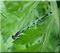 TL3369 : Variable Damselfly (Coenagrion pulchellum) by Hugh Venables