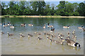TQ5746 : Geese on Barden Lake, Haysden Country Park, Tonbridge, Kent by Oast House Archive