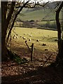 SX9275 : Sheep above Lidwell Farm : Week 6