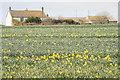 SW3826 : Bosanketh Farm with daffodils by Elizabeth Scott