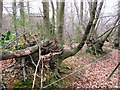 SP9208 : Twisted Trees in the old Bridleway hedgerow by Chris Reynolds