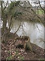 SO5269 : Oak stump and River Teme by Richard Webb