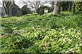 SW5829 : Primroses in the churchyard at Germoe by Elizabeth Scott