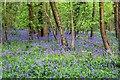 SP5200 : Bluebells in Radley Large Wood by Steve Daniels
