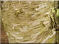 TL9386 : Silver Birch Bark by Adrian Cable