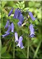 SW4123 : Bluebells (Hyacinthoides non-scripta (L.)) by Rod Allday