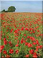 SO7332 : Poppy field near Ryton : Week 22