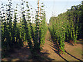 TQ8129 : Hop Garden, Hoad's Farm - June by Oast House Archive