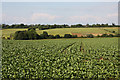 TL7563 : Brassica crop by Bob Jones