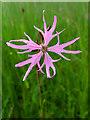 NN7418 : Ragged Robin flower (Lychnis flos-cuculi) : Week 25