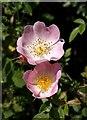 SX8772 : Wild roses, Hackney Lane : Week 25