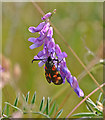 ST1773 : Six-spot Burnet Moth on Tufted Vetch - Penarth Moors : Week 26