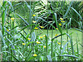 SP9713 : Great Spearwort, Woodland Pond, Ashridge by Chris Reynolds