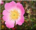 NJ3266 : Wild Rose (Rosa sp) by Anne Burgess