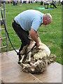 SJ8070 : Lower Withington Rose Day - Sheep Shearing Demo by Paul Kennington