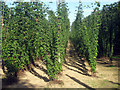 TQ8129 : Hop Garden, Hoad's Farm - July by Oast House Archive