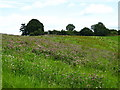 ST6363 : Clover bank in field by George Evans