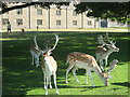 TQ5354 : Deer in front of Knole Park by David Anstiss