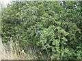 TQ1331 : Plentiful sloes on Blackthorn bush by Dave Spicer
