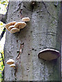 NO0241 : Fungi on a beech tree : Week 38