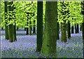 SP9714 : Trees and Bluebells, Dockey Wood, Ashridge by Cameraman