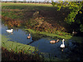 TQ9428 : Swans near the Ferry Inn by Oast House Archive