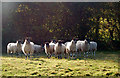 SP3862 : Backlit sheep posing near Ufton : Week 43