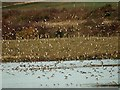 SE4107 : Golden Plover in flight at RSPB Edderthorpe Ings by Steve  Fareham