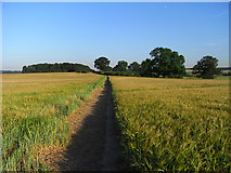 SU9695 : Footpath through barley near Amersham by Andrew Smith