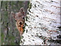 NH9709 : Red Squirrel : Week 47
