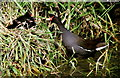 SK8444 : Moorhen family feeding on bank of the River Witham by di ablewhite