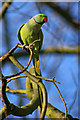 TQ1363 : Rose-ringed Parakeet (Psittacula krameri) by Ian Capper