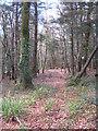 SW8051 : Beech woodland in Merton Plantation by Rod Allday