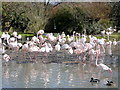 SO7104 : Greater Flamingos at Slimbridge WWT by Jonathan Billinger
