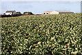 SW4124 : Cauliflower field by Elizabeth Scott