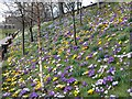 NT2573 : Crocuses in Princes Street Gardens by M J Richardson