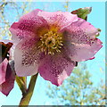 SO6424 : Helleborus x Hybridus; pink Lenten Rose by Jonathan Billinger