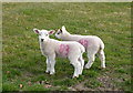 TQ9963 : Twins at Luddenham Court Farm : Week 11