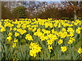 "TQ0657 : ""A Host of Golden Daffodils"" : Week 13"