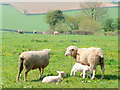SO6624 : Sheep and lambs, Linton Hill by Jonathan Billinger