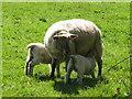 SU7997 : Twin lambs suckling near Bledlow Ridge by David Hawgood