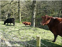 SE0024 : Cattle in the woodland, Mytholmroyd by Humphrey Bolton