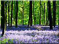 SU2567 : Beech trees and bluebells, Cobham Frith, near Marlborough by Brian Robert Marshall