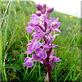 SU0523 : Early Purple Orchid, Orchis mascula by Jonathan Billinger