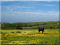 SW7349 : Horse and buttercups at Goonbell by Rod Allday