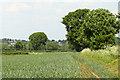 ST6156 : 2010 : Wheatfield near Hollow Marsh by Maurice Pullin