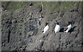 J4898 : Razorbills at The Gobbins by Rossographer
