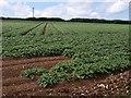 SW9059 : Potatoes near St Columb Road by Derek Harper